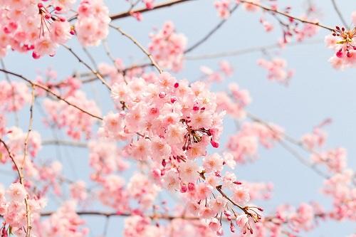 cherry-tree-1225186_960_720.jpg